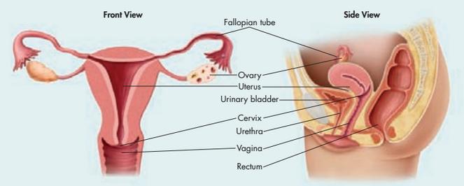 Ndia ali Anatomy of human clitoris